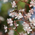 Picture Title - Saxifraga spathularis