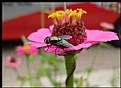 Picture Title - Pink Zinnia Bundle Fly