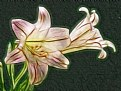 Picture Title - Illuminated Easter Lily
