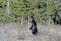 Picture Title - Young Yellowstone Grizzly