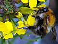 Picture Title - Honey Bee