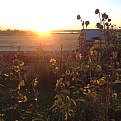 Picture Title - Sunrise Sunflowers