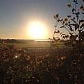 Picture Title - Sunrise Sunflowers 2