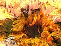 Picture Title - Dreaming Sunrise Sunflower