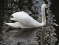 Picture Title - The Swan Princess