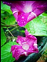 Picture Title - MorningGlory flower Violets AfterShowers