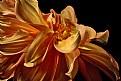 Picture Title - multi-hued dahlia 3