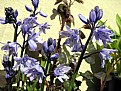Picture Title - Spring Bluebells