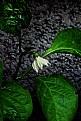Picture Title - Chili pepper Flower