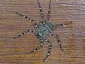 Picture Title - Rain spider