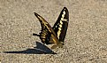"""Picture Title - """"Thirsty Swallow Tail 2"""""""