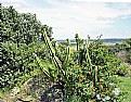Picture Title - Cactus & Lantanas