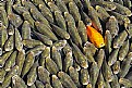 Picture Title - Red fish