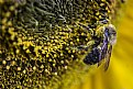Picture Title - Pollen Covered Bee