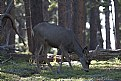 Picture Title - Wyoming muley.