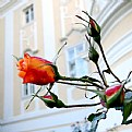 Picture Title - last roses