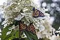 Picture Title - Monarchs