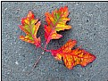 Picture Title - fall leaf 10