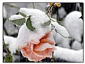 Picture Title - Snow Rose