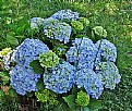 Picture Title - Hortensias
