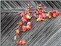 Picture Title - red leaves 4