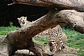 Picture Title - The Cheetah