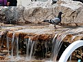 Picture Title - Thirsty Pigeon