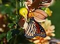 monarch and dahlia