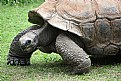 Picture Title - The Aldabra Tortoise
