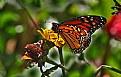monarch 6
