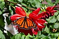 monarch and dahlia 12