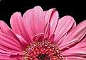 The Pinkest Petals