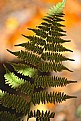 Picture Title - Fern in Fall