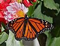 monarch 14