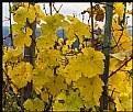 Picture Title - Vineyard Autumn