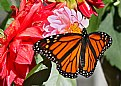 Picture Title - monarch 15
