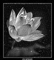 Picture Title - Lotus Impression