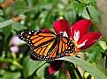 Picture Title - monarch 16a
