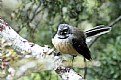 Picture Title - Fantail