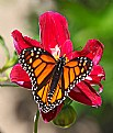 Picture Title -  monarch 18