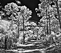 Picture Title - BW Ir..Path Thru The Woods