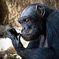 Picture Title - Ape