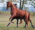 Picture Title - Young Trakens. German breed of horses.