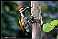 Picture Title - Woodpecker
