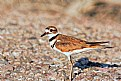 Picture Title - Killdeer