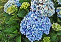 Picture Title - Wild Hortensias
