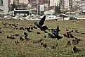 Picture Title - Crows