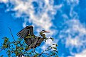 Picture Title - Great Blue Heron