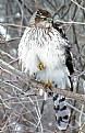 Picture Title - Sparrow Hawk