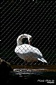 Picture Title - Swan - Freedom
